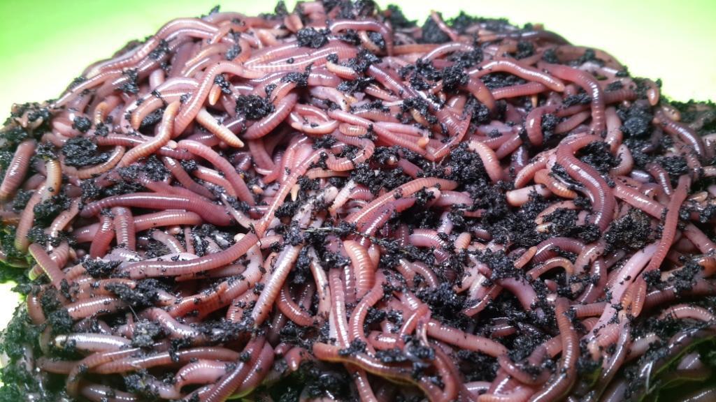 Каллифорнийский червь